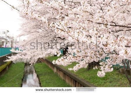 5月に売れた桜の写真