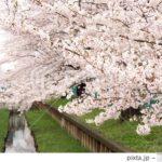 PIXTAで売れた桜の写真