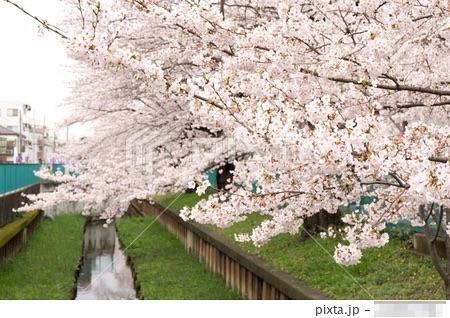 PIXTAでまた桜の写真が売れた