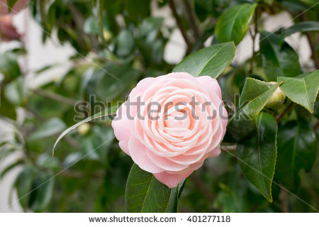 shutterstockで売れた乙女椿の写真