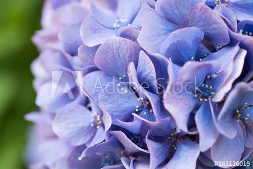 紫陽花のクローズアップ